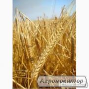 Семена ячменя озимого - сорт Академический