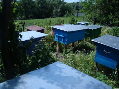 Продам 50 бджолопакетів (дадани)