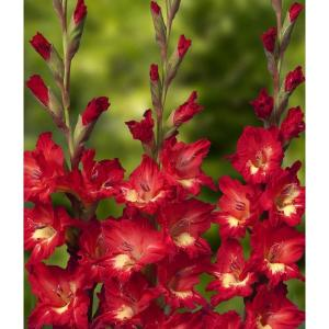 Цибулини квітів