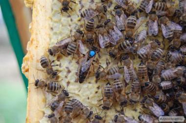 Продам пчелопакеты карпатской породы и плодотворные пчеломатки.