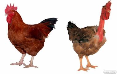 Продам курицу испанка голошейка, редбро живым весом (опт)