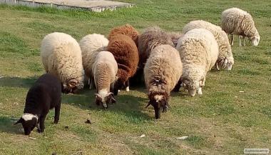 Продаються ягнята, барани, вівцематки. Живою вагою.