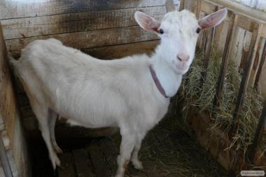 Продам дойные козы и козочки