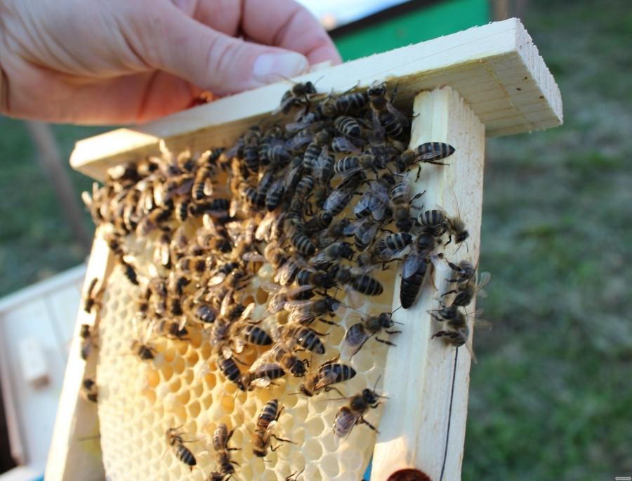 Продам пчеломатки карпатка 2018
