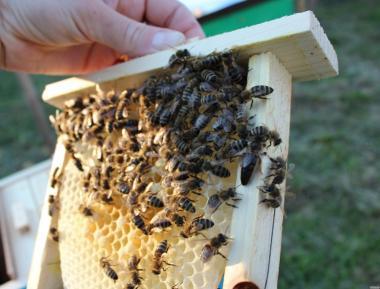 Продам бджоломатки карпатка 2016