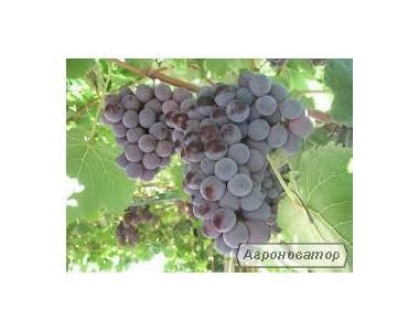 Саджанці винограду Лідія, Ізабелла рожева великоплідна