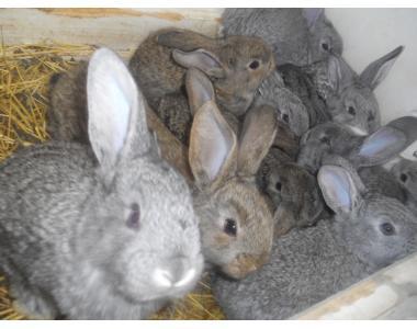 кролі акселерати різних порід