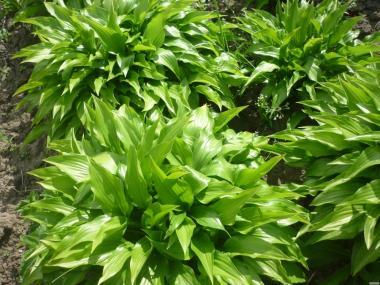 Хоста много сортов питомник декоративных растений оптовые цены