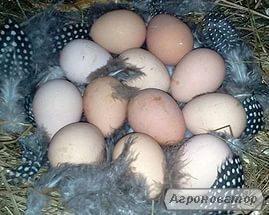 Цесариные инкубационные яйца