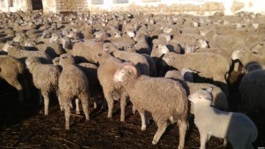 Подам вівці асканійської породи.