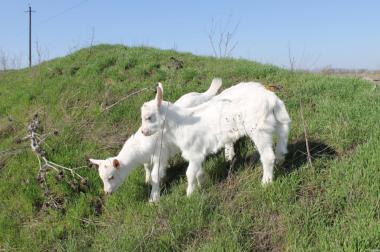 Продам козлят Зааненской, Альпийской пород