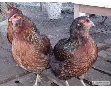 Породисті кури