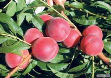 Саженцы персика сорта Флеминг Фьюри PF-23, от производителя