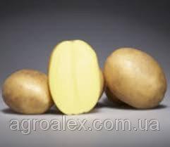 Озіріс насіння картоплі 2 репр 12грн/кг