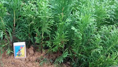 Продам вкорінені живці хвойних і листяних рослин