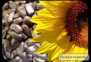 Семена и гибриды подсолнечников: