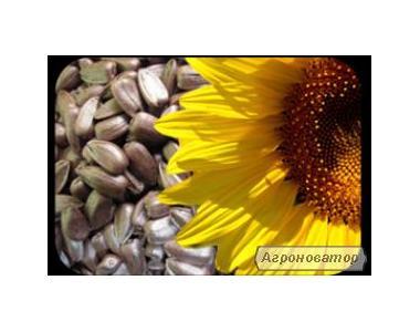 Насіння і гібриди соняшників: