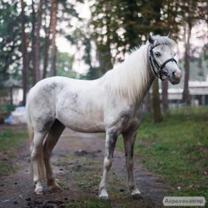 спортивний поні кобила