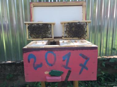ПЛІДНІ БДЖОЛОМАТКИ КАРПАТКА 2018 (Матка, Пчеломатка, Бджолині матки)