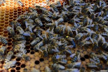 ПЛОДНЫЕ ПЧЕЛОМАТКИ КАРПАТКА 2018 (Матка, Пчеломатка, Бджолині матки)