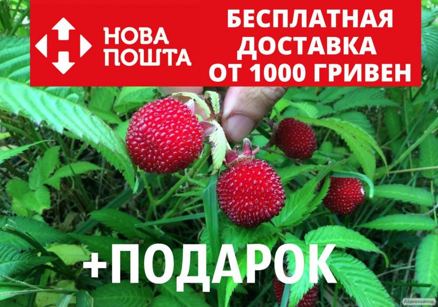 Малина мяо-мяо семена 20 шт тибетская розолистная