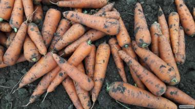 продам моркву 2 сорт