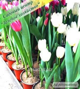 Тюльпани в горщиках, по 3 шт., Весняні квіти, Київ, подарункові