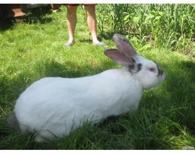 Кролики HYPLUS