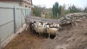 Продам овцы!Срочно!