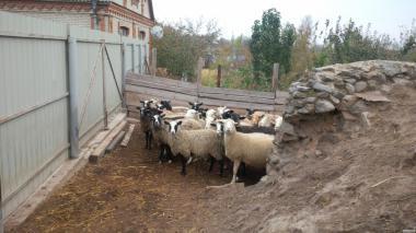 Продам вівці!Терміново!