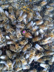 Пчелиные матки Бакфаст Ф1 (пчеломатки)