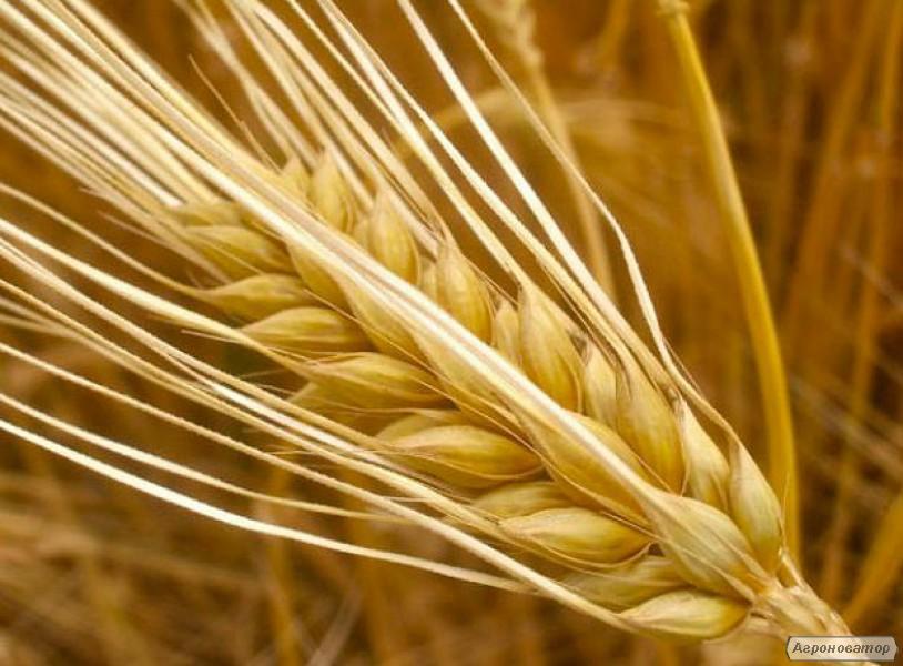 Семена ярового ячменя Себастьян (СН-1)