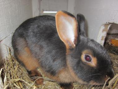 Продам чорно-огненные кролики