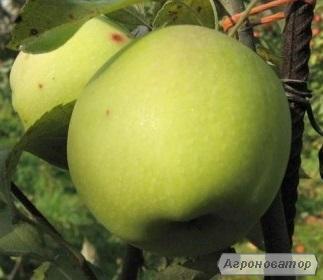 Саженцы яблони сорта Гринсхем от производителя