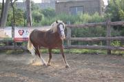 Продається кобила напівважковаговик