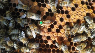 Пчеломатка Карника плодная от Н.Лампрехта (Lamprecht Norbert) ACA