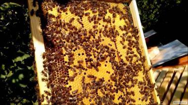 Бджоломатки, Бджоли української Степової породи, матка бджіл