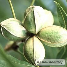 Саджанці горіха Пекан