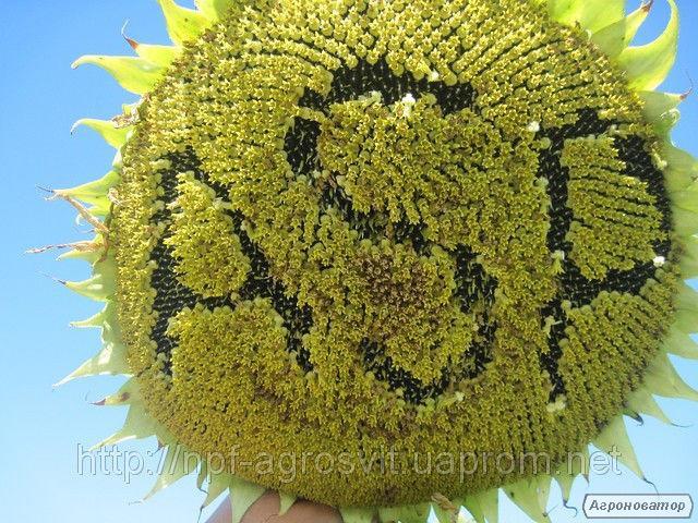 Семена  подсолнечника Жалон, Агроспецпроект