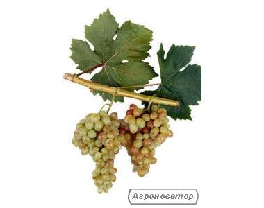 Саженцы винограда Тасон, Ливия