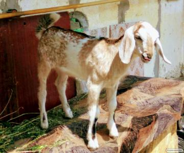 Англо-нубийский  племенной козел (100% AN), импорт Голландия