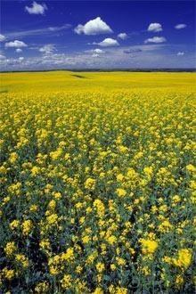 Семена озимого рапса Monsanto гибрид Екзекютив