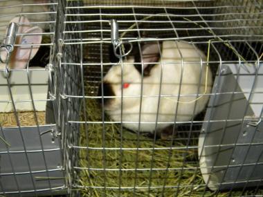 Продаються кролі породи : Каліфорнійська