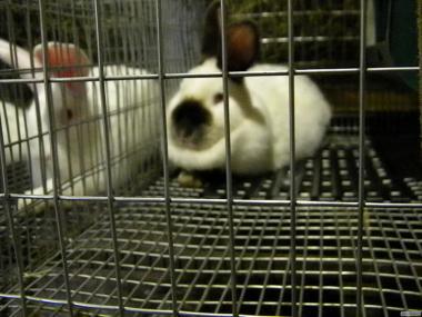 Продаются кролики породы : Калифорнийская