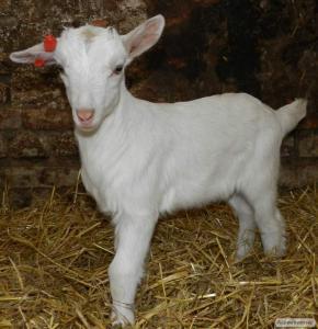 Продам козликів - поліпшувачів молочної продуктивності