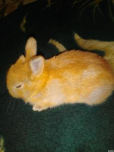 Карликовий кольоровий кролик. Рудий