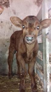 Продам Бичків, телята молочні