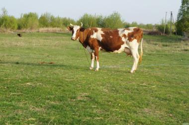 Продам дійних корів