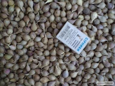Часник однозубка насіння сорту Любаша, воздушка сорти Софіївський