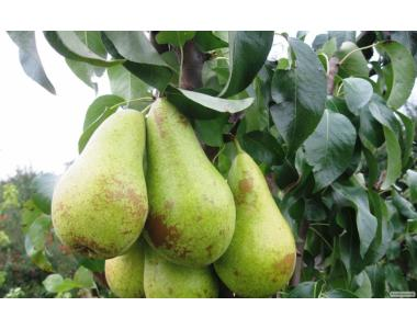 Саженцы груши сорта Аббат Фетель от производителя